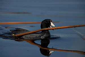 American Coot {Fulica americana} swimming and carrying material to construct nest, NY, USA.  -  John Cancalosi