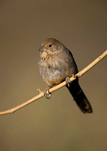 Brown Towhee {Pyrgisoma fuscum} perching on branch, Arizona, USA.  -  John Cancalosi
