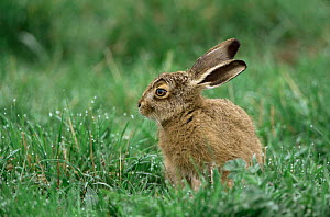 Young leveret hare (Lepus europaeus) in grass, Norfolk, UK.  -  Terry Andrewartha