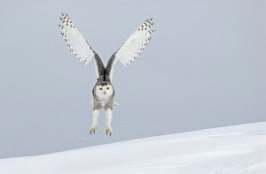 Snowy owl (Nyctea scndiaca) landing in snow. Canada. Winning picture in Shell Wildlife Photographer of the Year competition, 2006.  -  VINCENT MUNIER