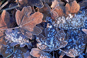 Frosted Field maple tree leaves in leaf litter {Acer campestris} UK  -  Chris Gomersall