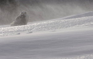 Snowy owl {Nyctea scandiaca} female perched on snow, Quebec, Canada - VINCENT MUNIER