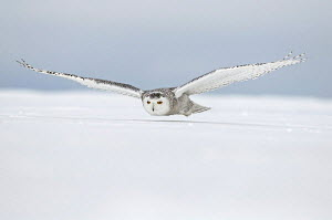 Snowy owl {Nyctea scandiaca} female flying low over snow, Quebec, Canada - VINCENT MUNIER
