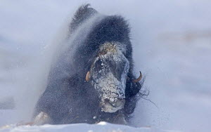 Muskox {Ovibos moschatus} standing against wind and snow in blizzard, Norway - VINCENT MUNIER