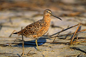 Short billed dowitcher standing on one leg {Limnodromus griseus} Florida, USA - Lynn M Stone