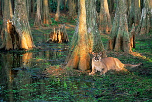 Puma / Florida panther {Felis concolor} in bald cypress habitat, Florida, USA, captive  -  Lynn M Stone