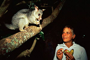 Woman feeding Common brushtail possom {Trichosurus vulpecula} wild in urban park in Hervey Bay, Queensland, Australia - Andrew Parkinson