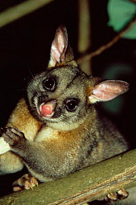 Common brushtail possom {Trichosurus vulpecula} wild in urban park in Hervey Bay, Queensland, Australia - Andrew Parkinson
