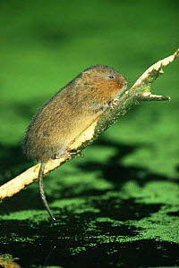 Water vole {Arvicola terrestris} stripping bark from fallen sycamore branch, Cromford Canal, Derbyshire, UK  -  Andrew Parkinson