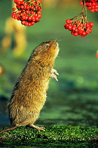 Water vole {Arvicola terrestris} standing up to reach overhanging berries, Cromford Canal, Derbyshire, UK sequence 1/4  -  Andrew Parkinson