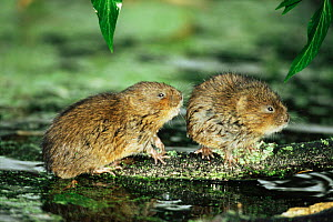 Water vole {Arvicola terrestris} two adults, probably related females, Cromford Canal, Derbyshire, UK  -  Andrew Parkinson