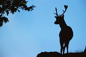 Fallow deer {Dama dama} stag silhouette at dawn, Leicestershire, UK  -  Andrew Parkinson