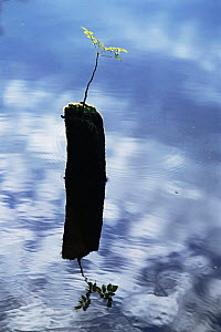 Ash tree sapling {Fraxinus excelsior} growing from post in a lake, Derbyshire, UK  -  Andrew Parkinson