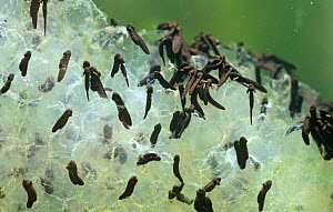 Tadpoles of Common frog hatching from frogspawn {Rana temporaria} sequence 5/6  -  Warwick Sloss