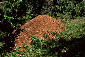 Wood ant nest {Formica paralugubris} Jura mountains, Switzerland  -  Simon Williams