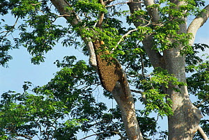 Giant honey bee nest {Apis dorsata} in {Compassia sp} tree, Sabah, Borneo, Indonesia  -  Simon Williams