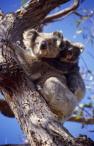 Koala with young {Phascolarctos cinereus} Raymond Island, Victoria, Australia  -  Simon Williams