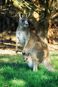 Eastern grey kangaroo with joey in pouch {Macropus giganteus} Victoria, Australia  -  Simon Williams