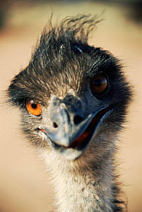 Emu portrait {Dromaius novaehollandiae} New South Wales, Australia  -  Simon Williams