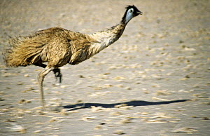 Emu running {Dromaius novaehollandiae} New South Wales, Australia  -  Simon Williams