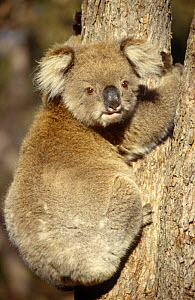 Koala {Phascolarctos cinereus} Raymond Island, Victoria, Australia  -  Simon Williams
