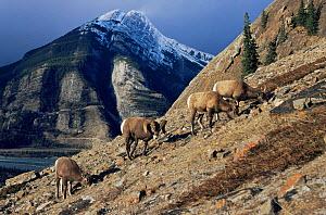 Rocky mountain Bighorn sheep {Ovis canadensis} ram with ewes, Jasper NP, Alberta, USA - Lynn M Stone
