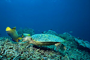 Hawksbill turtle {Eretmochelys imbricata} attended by Yellowmask angelfish {Pomacanthus xanthometopon} which feed on items dilodged by the turtle, Sipadan Island, Sabah, Borneo, Malaysia  -  Doug Perrine