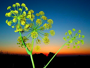 Giant fennel {Ferula communis} at dusk, Spain.    -  Jose B. Ruiz