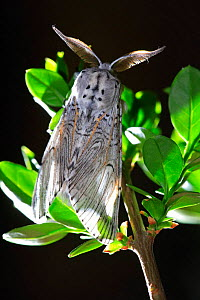 Sallow kitten moth {Furcula furcula} on branch, Spain.    -  Jose B. Ruiz