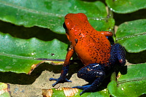 Blue Jeans Poison Dart Frog / Strawberry poison arrow frog {Dendrobates pumilio} on leaf, Costa Rica.  -  Philippe Clement