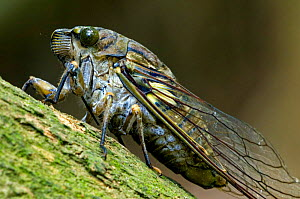 Cicada {Cicada sp.} close-up on branch in forest, Carara NP, Costa Rica.  -  Philippe Clement