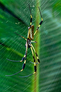 Banana spider / Golden silk spider {Nephila clavipes} on web, Costa Rica. - Philippe Clement