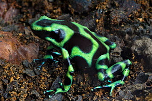Green poison arrow frog {Dendrobates auratus} on forest floor, Costa Rica.  -  Philippe Clement