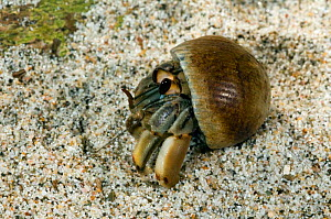 Ecuadorian / Pacific / Land hermit crab {Coenobita compressus} on land, Manuel Antonio NP, Costa Rica. - Philippe Clement