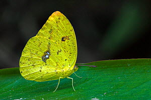 Orange-barred Sulphur butterfly {Phoebis philea} on leaf, Costa Rica. - Philippe Clement