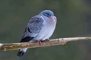 Stock dove {Columba oenas} puffed up for warmth in winter, Belgium.  -  Philippe Clement
