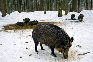 Wild boars {Sus scrofa} feeding at artificial feeding station, Bavarian Forest, Germany. - Philippe Clement