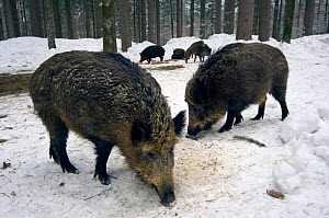 Wild boars {Sus scrofa} feeding at artificial feeding station  Bavarian Forest, Germany. - Philippe Clement