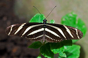 Zebra longwing butterfly {Heliconius charithonia} perching on leave, Monteverde NP, Costa Rica.  -  Philippe Clement