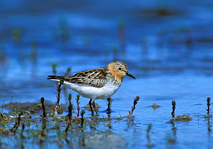 Red necked stint {Calidris ruficollis}, breeding plumage, Anadyr, Siberia, Russia - Hanne & Jens Eriksen