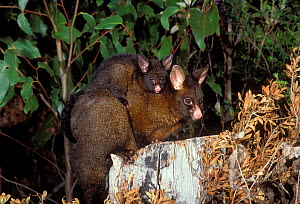 Common Brushtail Possum {Trichosurus vulpecula} mother carrying young on back, captive, Tasmania, Australia. - Dave Watts