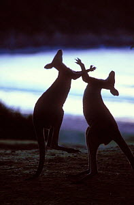 Silhouette of Eastern Grey Kangaroo {Macropus giganteus} males boxing, New South Wales, Australia.  -  Dave Watts