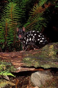 Eastern Quoll {Dasyurus viverrinus} on log, dark phase, Tasmania, Australia. - Dave Watts