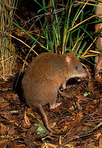 Rear view of Long footed Potoroo {Potorous longipes} Victoria, Australia. Endangered species.  -  Dave Watts
