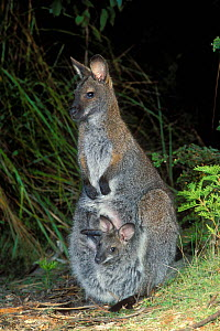 Bennett's wallaby {Macropus rufogriseus rufogriseus} Tasmanian subspecies of Red necked wallaby, female with joey in pouch, Tasmania, Australia.  -  Dave Watts