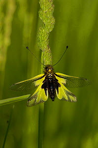 Owlfly {Lobelliodes coccajus} perching on grass, France.  -  Dave Watts