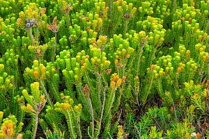 Heather {Erica sp} DeHoop Nature Reserve, Western Cape, South Africa.  -  Tony Phelps