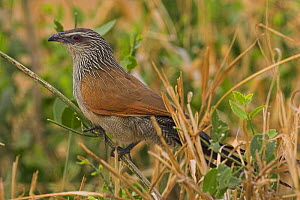 White browed Coucal {Centropus supercilious} adult perching amongst vegetation, Tsavo, Kenya. - Paul Hobson