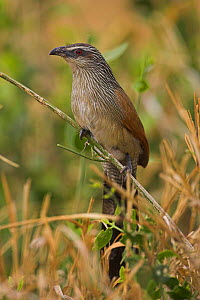 White-browed Coucal {Centropus supercilious} adult perching amongst grass, Tsavo, Kenya. - Paul Hobson