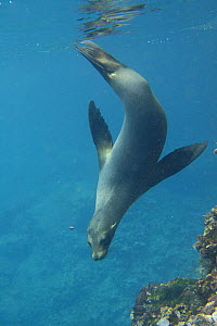 Galapagos sealion (Zalophus californianus wollebaeki) swimming / diving underwater, Isabela Is, Galapagos  -  Pete Oxford